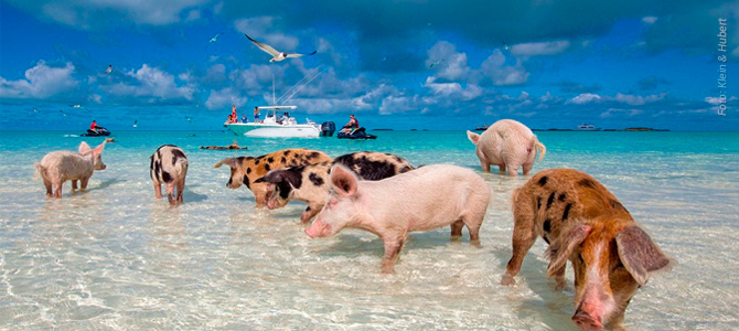 Saiba quanto custa viajar para as Bahamas e conhecer a Ilha dos Porcos, onde eles são livres
